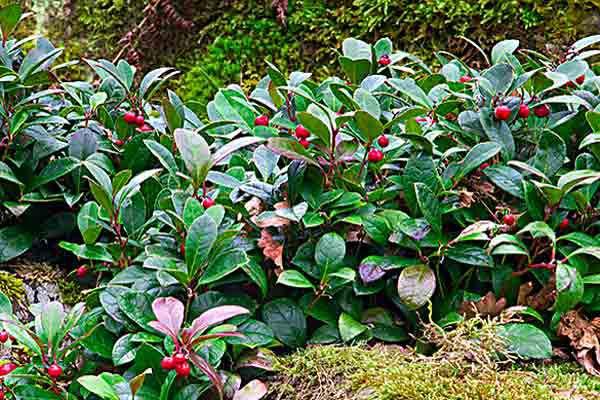Wintergreen (Gaultheria Procumbens) Groundcover