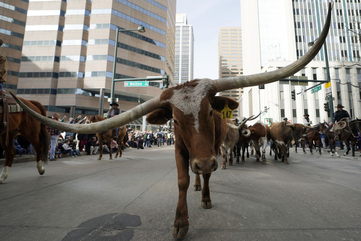 Annual Nat'l Western Stock Show Open With Parade Of Western Wagons And Cattle On Denver Streets