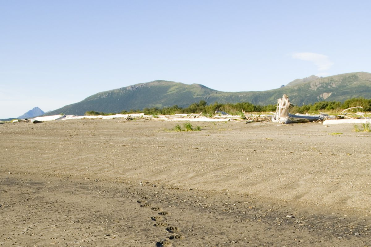 Brown Bear, Ursos arctos, footprints in sand along edge of coastal creek Katmai, Alaska