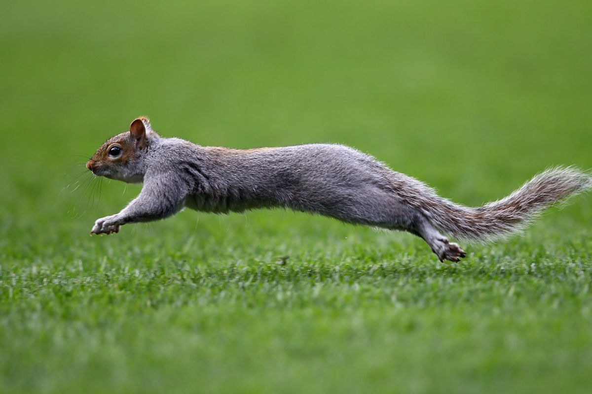 LONDON, ENGLAND - MARCH 03:  A squirrel invades the pitch during the Barclays Premier League match between Queens Park Rangers and Everton at Loftus Road on March 3, 2012 in London, England.  (Photo by Julian Finney/Getty Images)