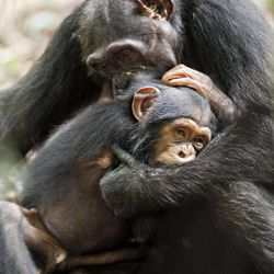 """In this film image released by Disney, chimpanzees Isha and Oscar, foreground, are shown during the filming of the documentary """"Chimpanzee."""""""