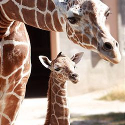 It's a boy! Hogle Zoo is proud to announce its newest addition, a baby giraffe. The 6-year-old first-time mother, Kipenzi, is doing very well and the baby is nursing and walking around with his mother. At the time of Friday's photos the baby was 21 hours old.