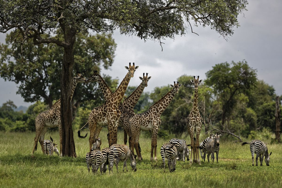 FILE - In this March 20, 2018, file photo, giraffes and zebras congregate under the shade of a tree in the afternoon in Mikumi National Park, Tanzania. The United Nations will issue its first comprehensive global scientific report on biodiversity on Monda