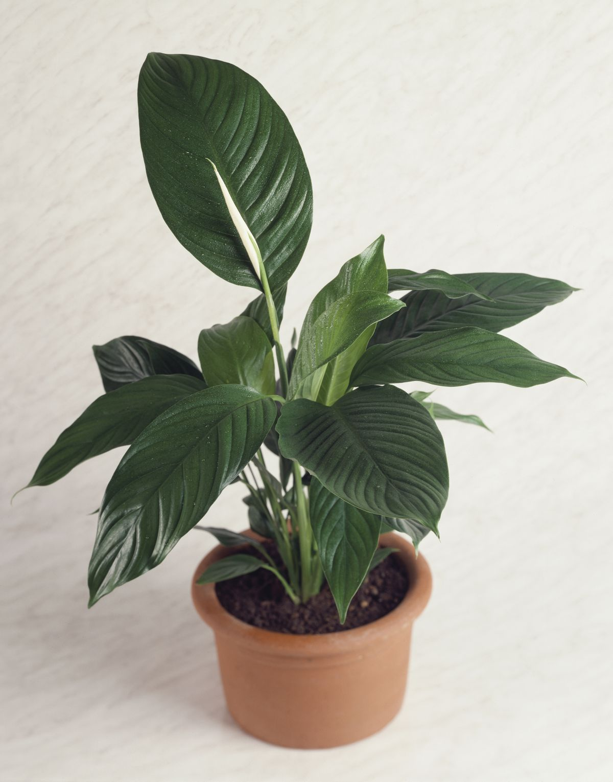 A potted rubber fig or Rubber plant, or Moraceae, plant.