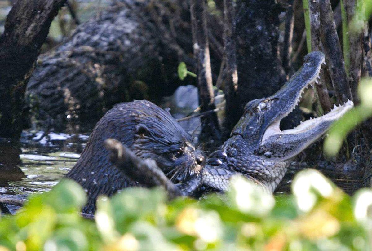 otter alligator