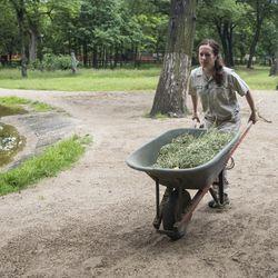 Dara Kelly cleans and puts hay in the giraffes' yard. | Ashlee Rezin/Sun-Times