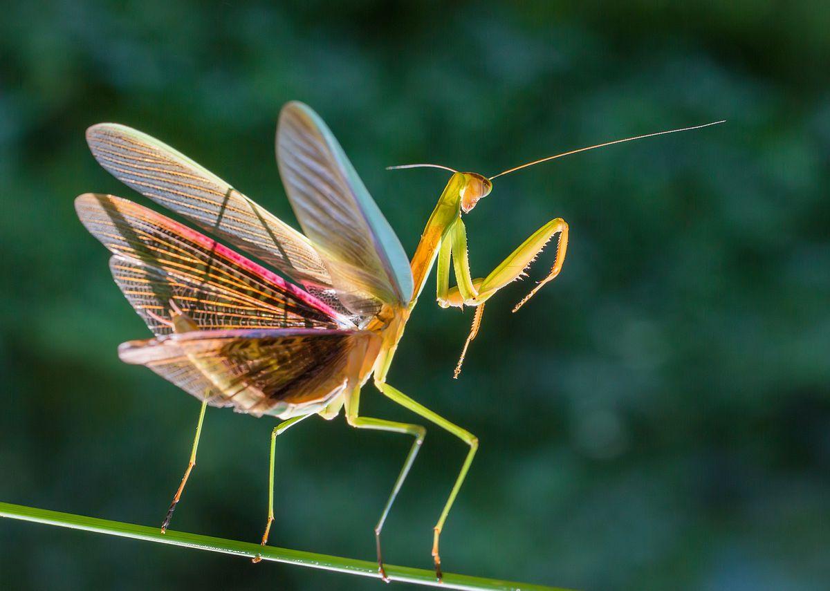 Micro photography mantis in Ningbo,China