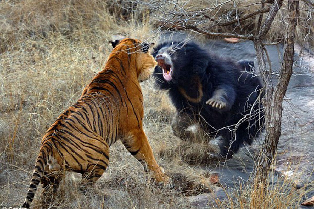 "via <a href=""http://3.bp.blogspot.com/-1O0eachxgq4/TiPqqqYFa2I/AAAAAAAAFW8/UluFo46PU0M/s640/tiger-vs-mother-bear-001.jpg"">3.bp.blogspot.com</a>"