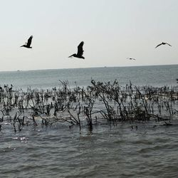 Pelicans fly over dead mangrove on heavily eroded Cat Island in Barataria Bay in Plaquemines Parish, La., Wednesday, April 11, 2012.