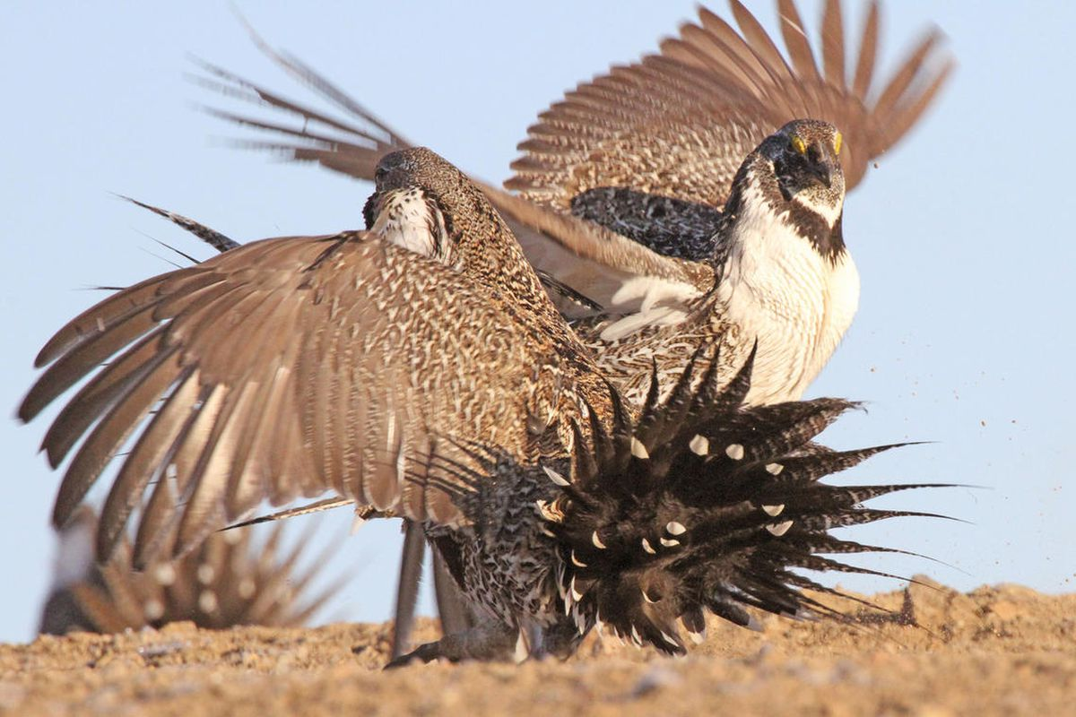 FILE - Male greater sage grouse fighting. The House Armed Services Committee passed the National Defense Authorization Act for fiscal year 2017 on Thursday. The bill includes a provision that prevents the implementation of federal plans on sage grouse man