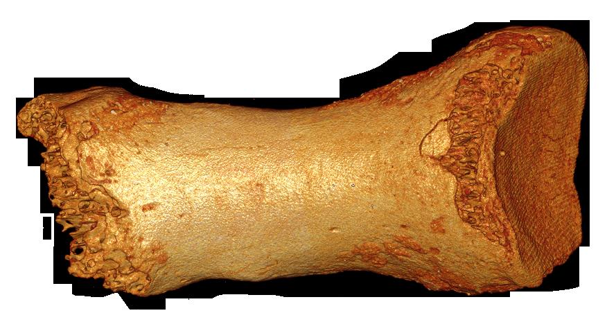 neanderthal-dorsal-bone-bence-viola