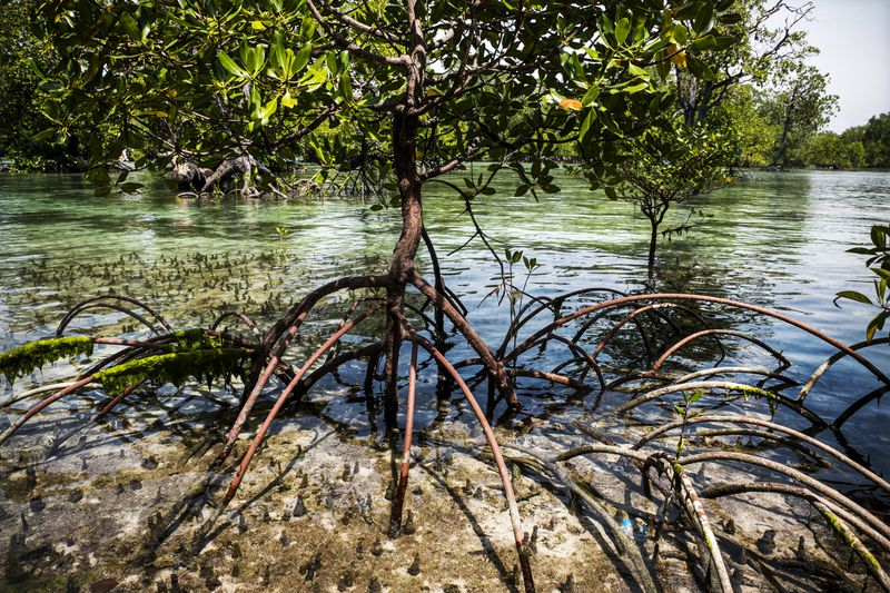 A stilt mangrove tree in a protected area on  Semama Island in East Kalimantan.