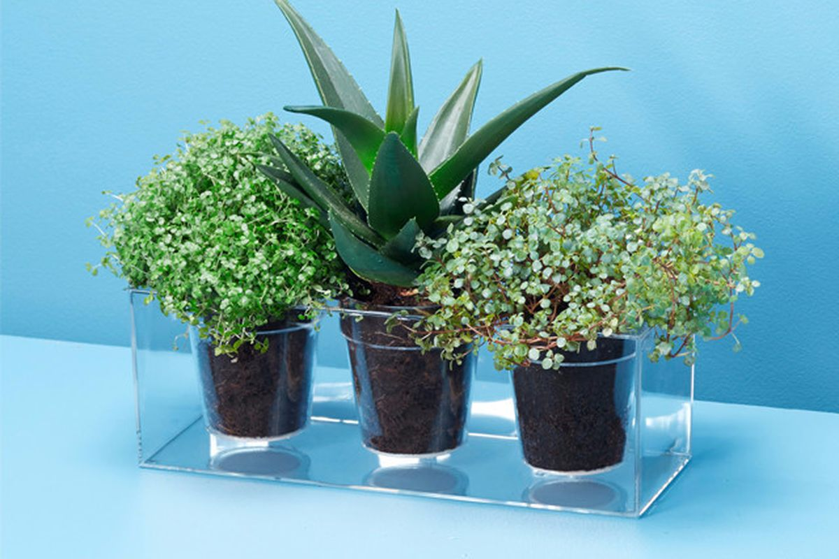 Shot of a clear, three-plant planter with three plants potted against a blue backdrop.