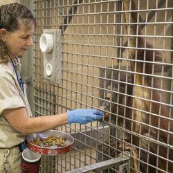 Nava Greenblatt feeds and trains Kecil, a 4-year-old orangutan. | Ashlee Rezin/Sun-Times