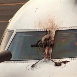 FILE- In this April 24, 2012 file photo, a Canada goose is stuck on the windshield of a JetBlue plane that made an emergency landing at the Westchester County Airport in Purchase, N.Y.  The day after geese hit the airliner and forced it to make an emergency landing, U.S. Sen. Kirsten Gillibrand, D-NY, introduced legislation Wednesday, April 25, 2012 that would make it easier to round up geese near JFK Airport and kill them.