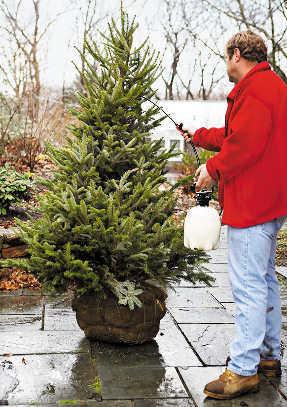 Person spraying a live Christmas tree with a natural anti-desiccant.