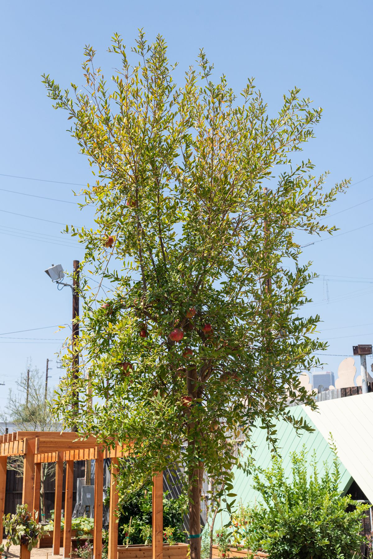 A pomegranate tree tilted to the sky in the summer sun.