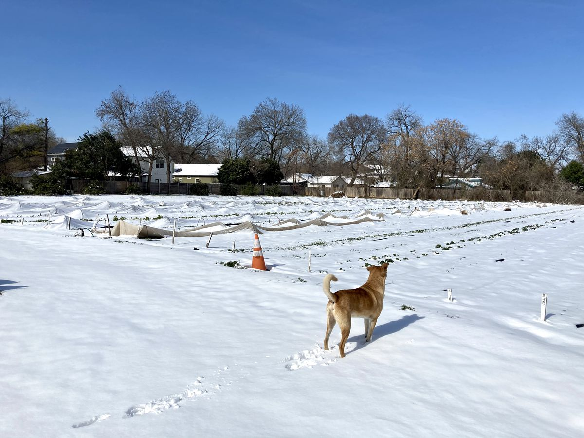 Fields covered in snow with a dog looking over them