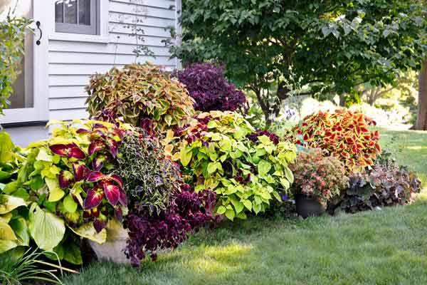Garden Full Of Coleus Plants