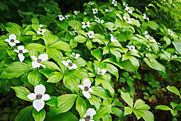 Bunchberry (Cornus Canadensis) Shade-Loving Groundcover