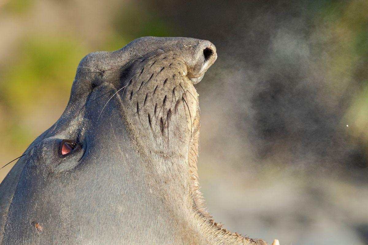 Southern elephant seal (Mirounga leonina) after harem and breeding season. Young bulls fighting and establishing pecking order. South America. Falkland Islands. January