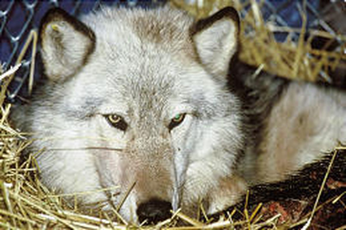 Gray wolf numbers in Wyoming, Montana and Idaho are currently estimated by federal officials to be 912, compared with 835 in December.
