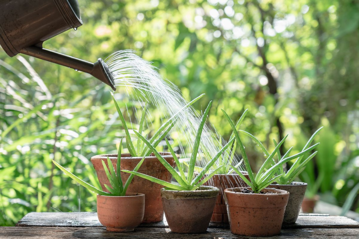"""The aloe vera plant is among the best candidates for indoor """"gardens"""" and revered across the globe for its medicinal properties."""