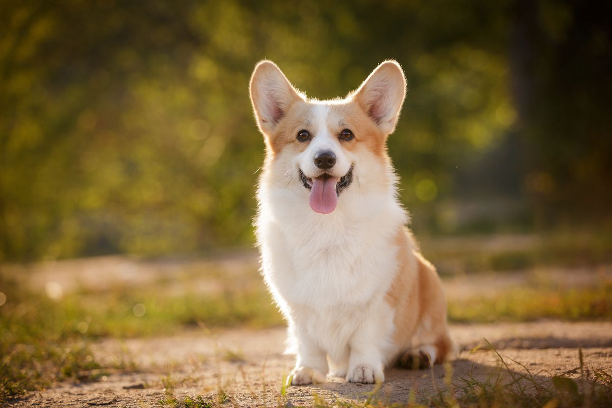 Pembroke Welsh corgis have made the AKC's Top 10 list of favorite dog breeds for the first time.