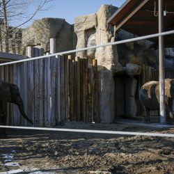 Researchers have drawn blood from many elephants in an attempt to better understand why elephants do not get cancer, including Zuri, 7, right, and Christie, 31, left, pictured here at Hogle Zoo in Salt Lake City on Tuesday, Jan. 17, 2017.