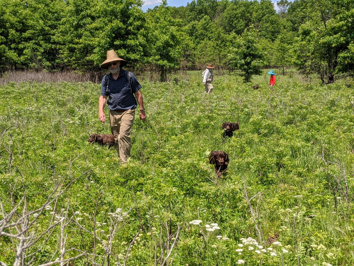 John Rucker walked with his Boykin spaniels as they searched for ornate box turtles in Iroquois County. Credit: Dale Bowman