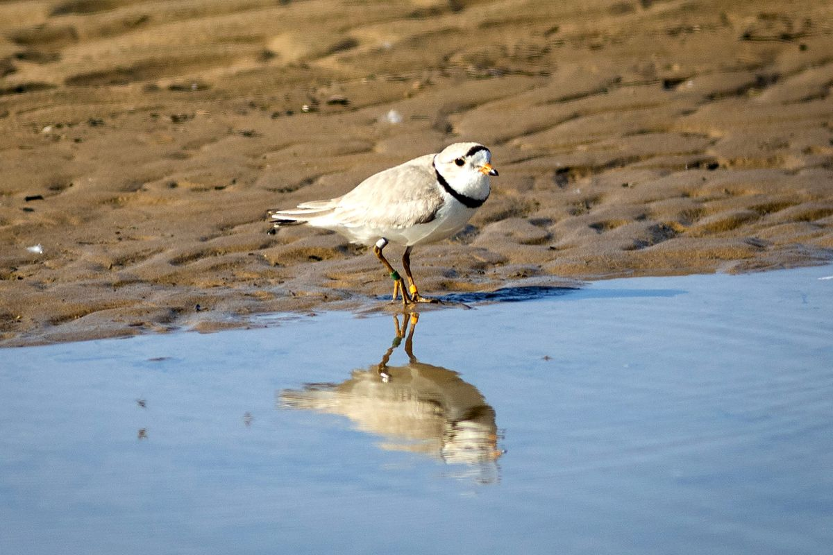A rare piping plover walks in the area sectioned off for the endangered species this summer on Montrose Beach, where volunteers worked to protect a nest.
