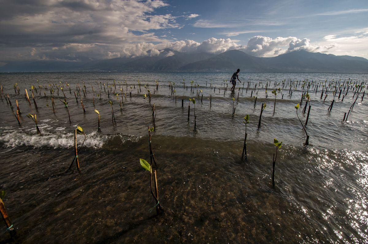 A volunteer examines new mangrove trees on Teluk Palu Beach, Central Sulawesi, Indonesia, on July 26, 2019.