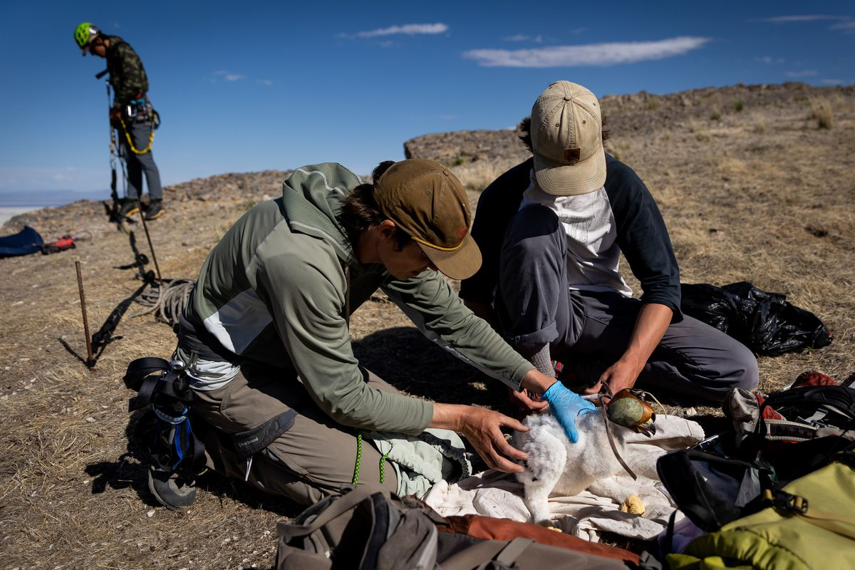 Hawkwatch International research associate Dustin Maloney, left, and field biologist Max Carlin take samples and measurements from a golden eagle nestling, while field biologist Jayden Skelly prepares to rappel into the nest to place a camera, in a remote area of Box Elder County on Wednesday, May 19, 2021.
