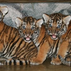 Three male Amur tiger cubs were born at Hogle Zoo to parents Basha and Kazek on June 2. The cubs weighed between 24 and 27 pounds and haven't been named yet.