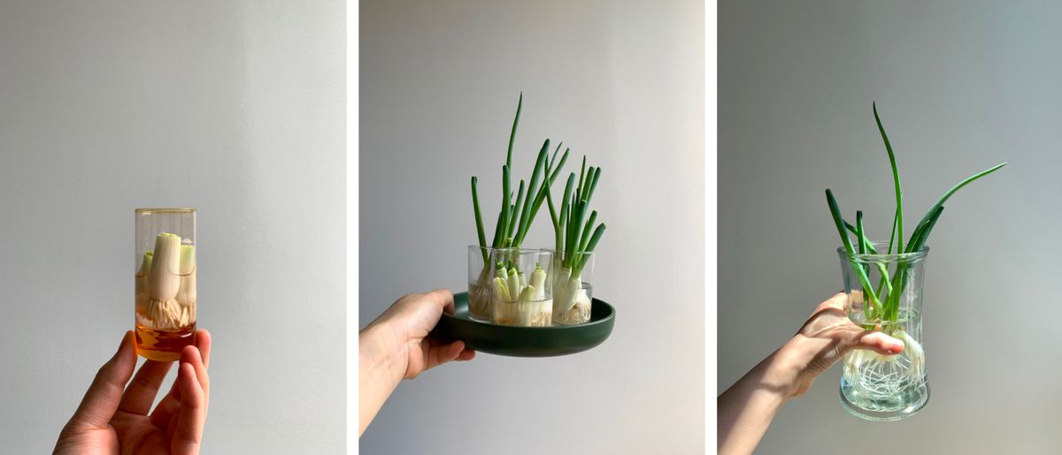 A trio of images depicting scallion bulbs growing in various sized glasses.