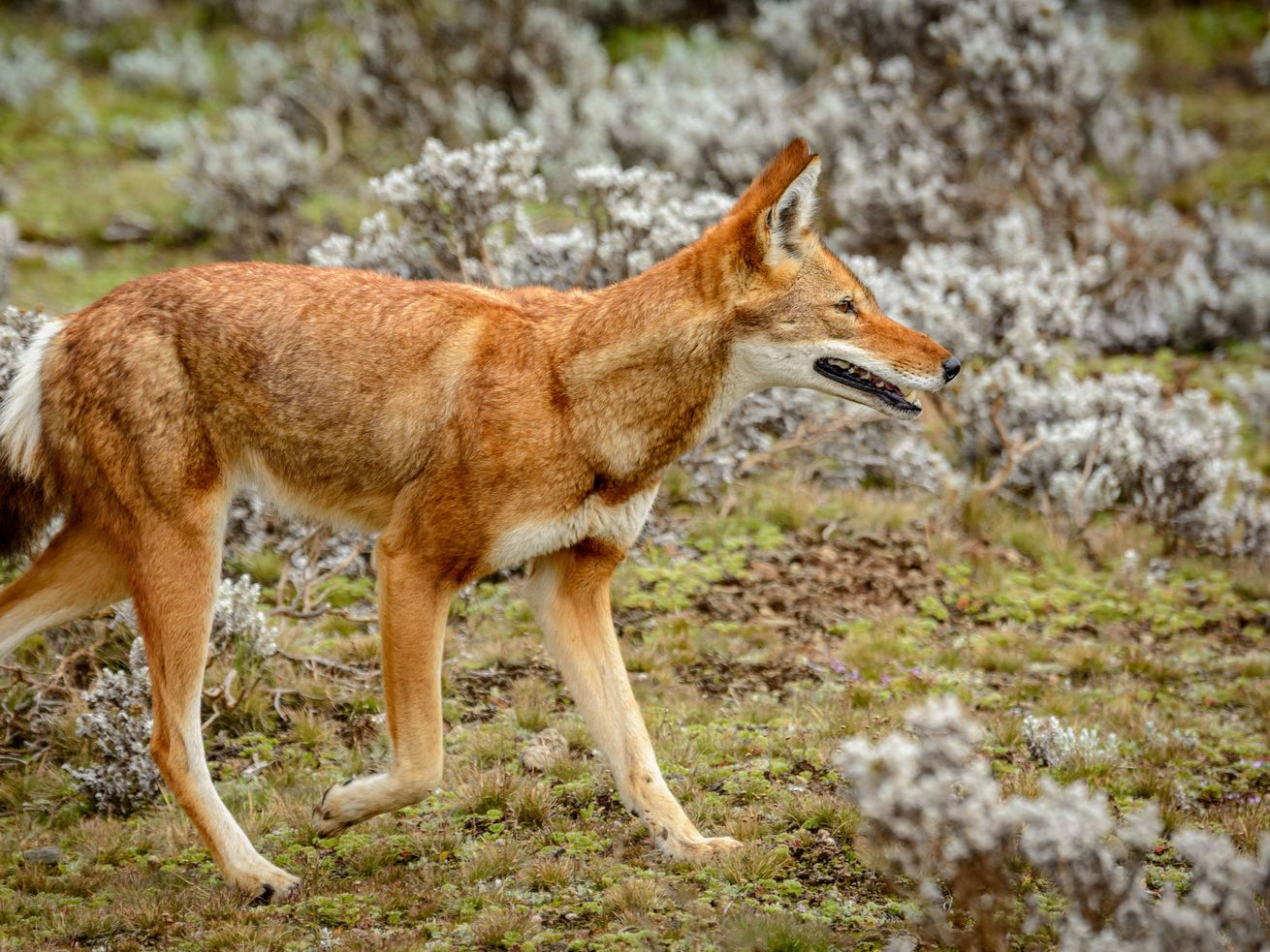 Ethiopian wolf, Canis simensis, also know as Abyssinian wolf, Simien wolf, Simien jackal, Ethiopian jackal, red fox, red jackal, in Bale Mountains National Park, Ethiopia.