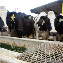 Cows drink water from a trough. Dairy farmer Ron Gibson talks Wednesday, Aug. 29, 2012, about the hardships that this season has brought on.