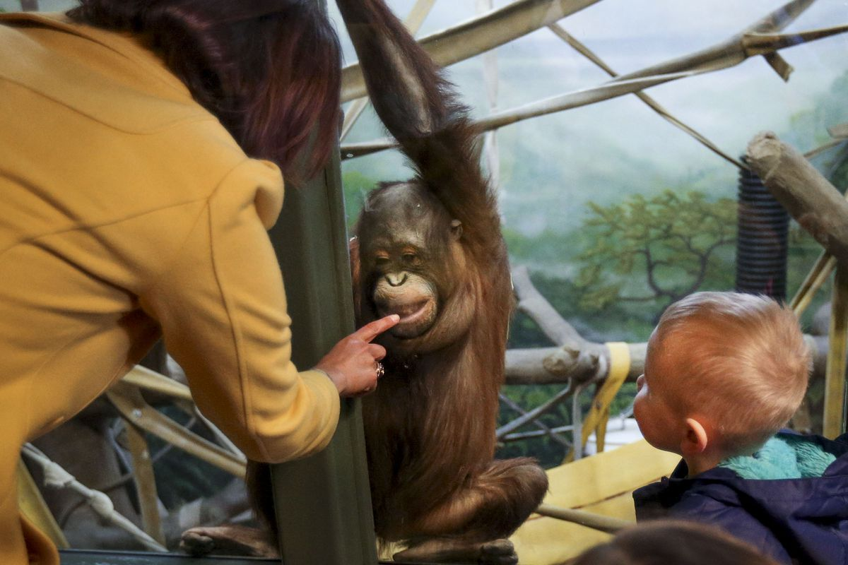 Erica Hansen, community relations coordinator at Utah's Hogle Zoo, and Harvey Helton, 3, of Kearns, communicate with Tuah, an orangutan, at the zoo in Salt Lake City on Wednesday, March 31, 2021. According to zoo officials, the primates missed the interaction with guests during the zoo's 50 days of closure that occurred at the onset of the coronavirus pandemic.