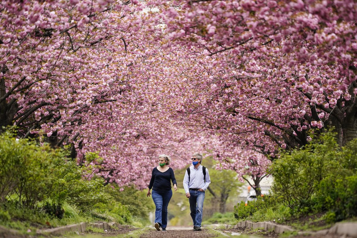 People wearing face masks as a precaution against COVID-19 walk beneath blossoming cherry trees along Columbus Boulevard in Philadelphia, in April.