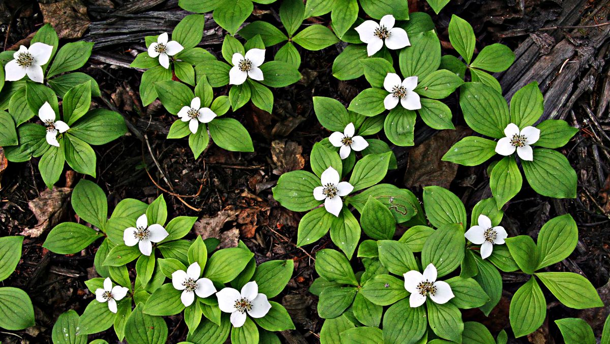 bunchberry groundcover