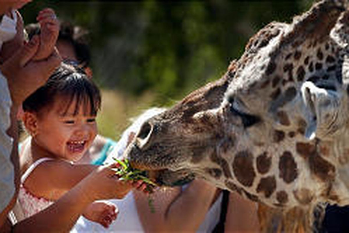 Two-year-old Nevaeh Nevarez feeds a giraffe at Hogle Zoo in August of 2003. In its latest accreditation, the zoo received a number of compliments.
