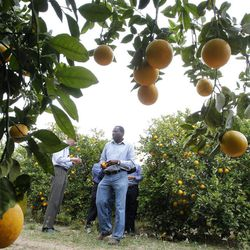 File - In this Jan. 24, 2012 file photo, Mamoudou Setamou, center, a citrus entomologist for the Texas A&M University Kingsville Citrus Center in Weslaco, walks through the grove where citrus greening disease has been found  in San Juan, Texas. The California Department of Food and Agriculture announced Friday that citrus greening, also known as huanglongbing, has been discovered in lemon/pummelo tree in a residential neighborhood of Los Angeles County. The bacterial disease is carried by the Asian citrus psyllid and attacks the vascular system of trees.