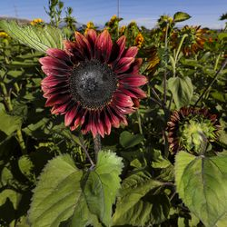 A red sunflower is in bloom at the Cross E Ranch Sunflower Festival in Salt Lake City on Tuesday, July 14, 2020. The festival features a 14-acre sunflower field planted with over 20 varieties of different shapes, sizes and colors.