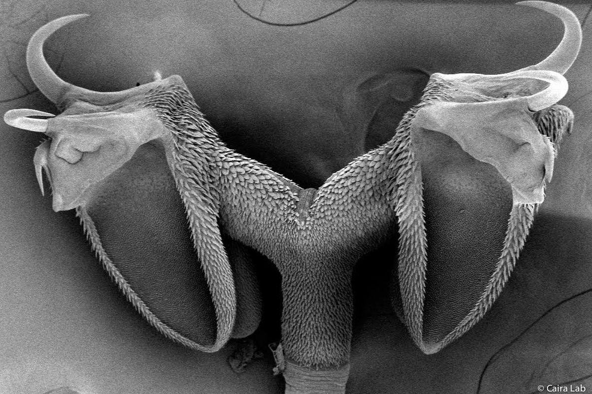 """Yorker Izardi is parasitologist Janine Caira's favorite species of tapeworm. It uses hooks to latch onto its host's intestines. """"So they look kind of vicious, but they're actually pretty awesome."""""""
