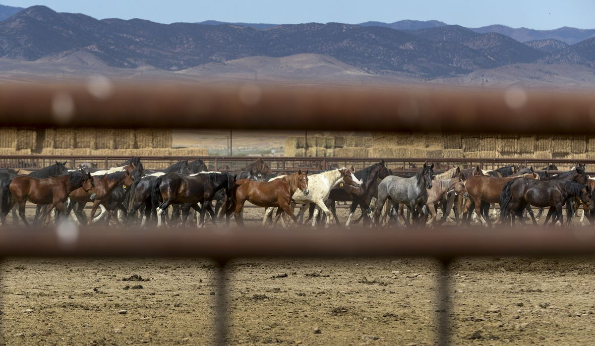 Wild horses stand in the Axtell contract off-range corrals in Axtell, Sanpete County, on Thursday, Sept. 5, 2019. The Axtell facility is one of two locations in Utah that provides care to wild horses removed from the range.