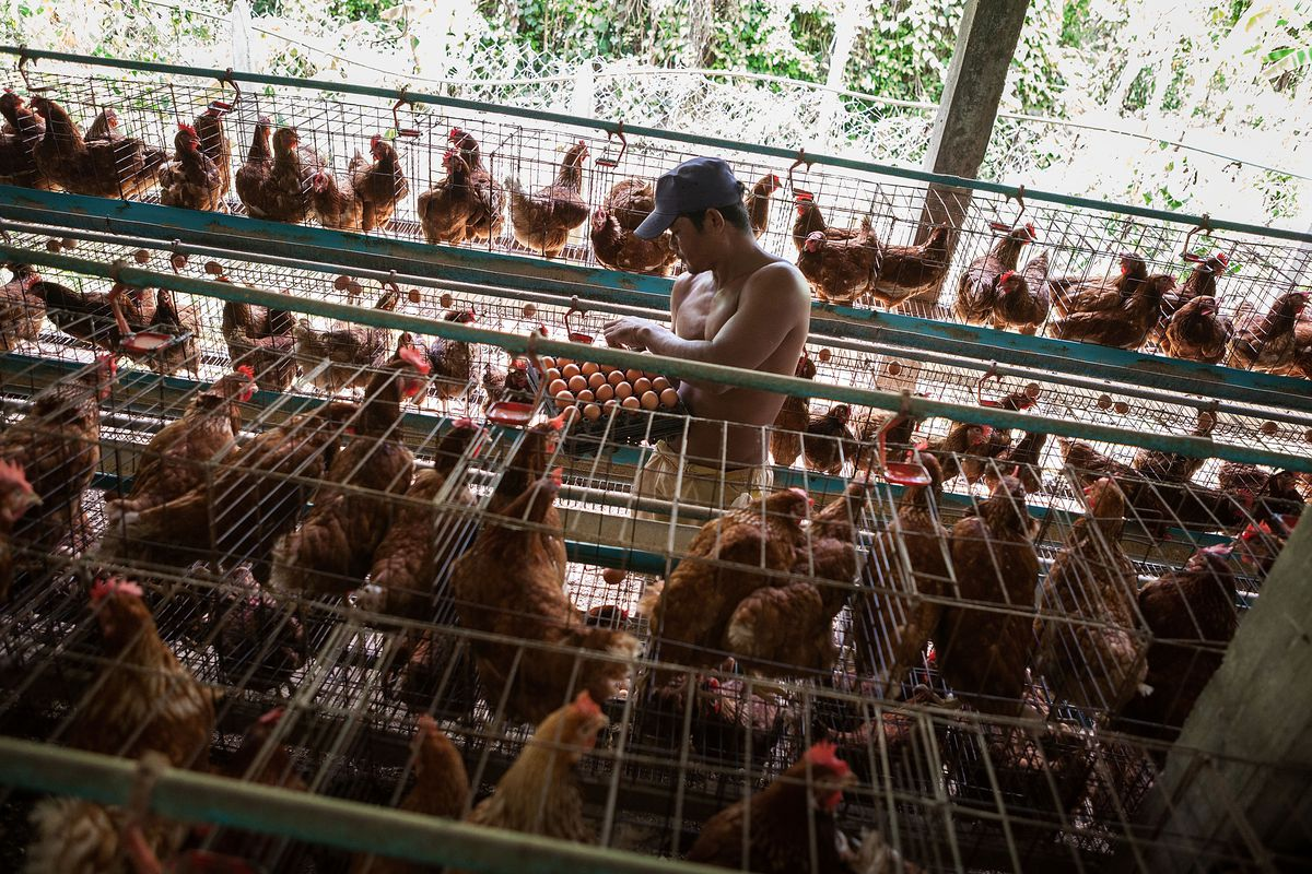 Cambodia On Alert After 17th Case Of Bird Flu Reported