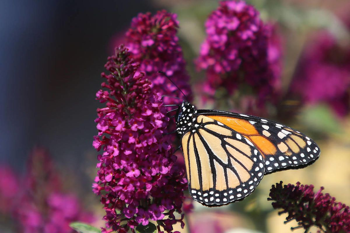 New numbers show the Western Monarch population is dangerous close to a collapse.