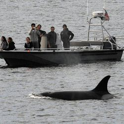 File - In this Dec. 20, 2016, file photo, whales are seen off the coast of Long Beach, Calif., from the La Espada whale watching ship from Harbor Breeze Cruises. The Trump administration on Monday, June 12, 2017, threw out a new rule intended to limit the numbers of endangered whales and sea turtles getting caught in fishing nets off the West Coast, even though the fishing industry had proposed the measure.