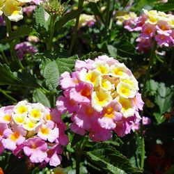Pastel cream and pink give this lantana hybrid a perfect cottage-garden look for traditional gardens.