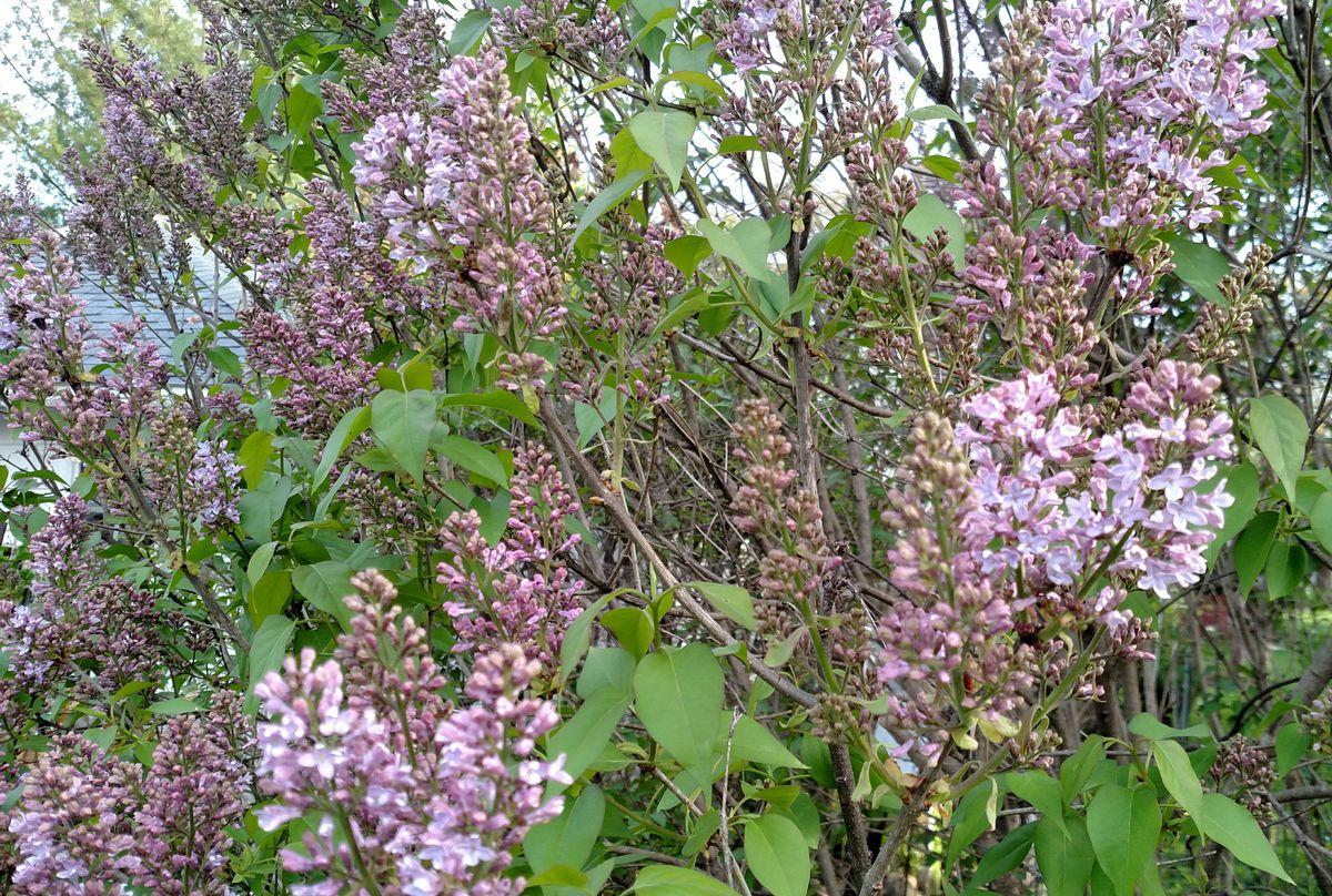 Early lilacs.<br>Credit: Dale Bowman